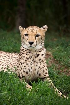 Gepard ein porträt
