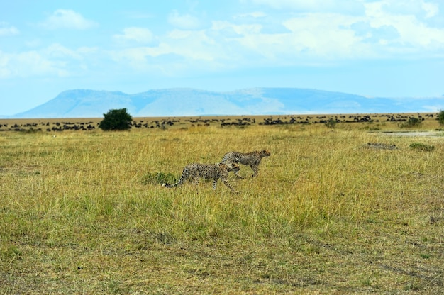 Gepard im afrikanischen savannenpark masai mara