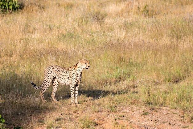 Gepard im grasland der savanne in kenia