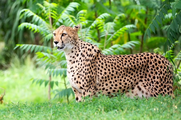 Gepard in einer tropischen landschaft