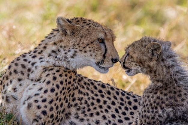 Geparden in der masai mara national reserve
