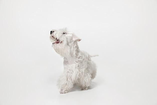 Gepflegter terrierwelpe mit flauschigem fell. nettes weißes kleines hündchen oder haustier spielt und läuft isoliert auf weißem hintergrund.