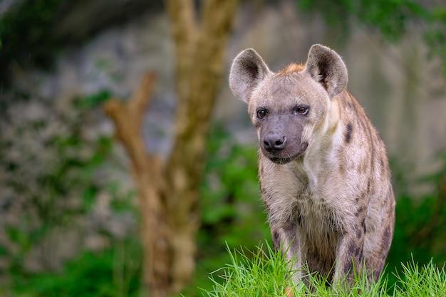 Gepunktete hyäne in der safari