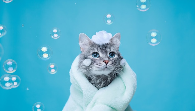 Gerade gewaschen schöne flauschige katze mit seifenschaum auf dem kopf auf blau