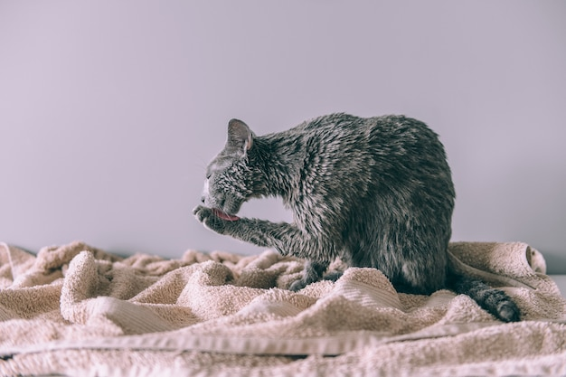 Gerade gewaschenes lustiges nasses pelzartiges nettes kätzchen nach dem bad, das auf grauem hintergrund sich leckt