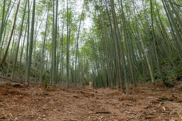 Gerader bambus im bambuswald