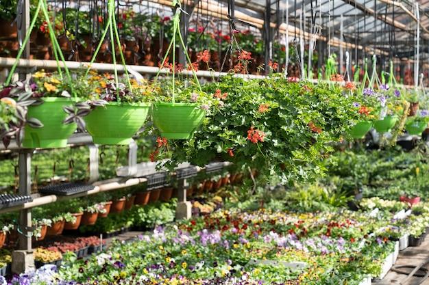 Geranien und stiefmütterchen wachsen im gewächshaus frische bio-blumen im gewächshaus zum verkauf oder zum pflanzen