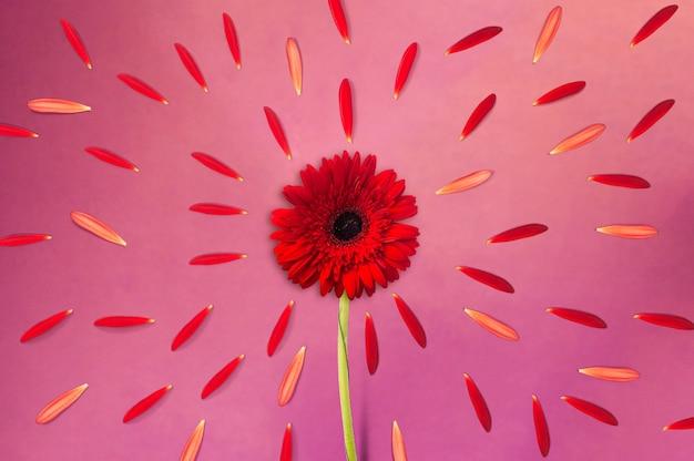 Gerbera-blume mit gerbera-blütenblättern strahlen auf lila hintergrund, blumenhintergrund, glücklicher valentinstag, muttertag, flache lage, draufsicht