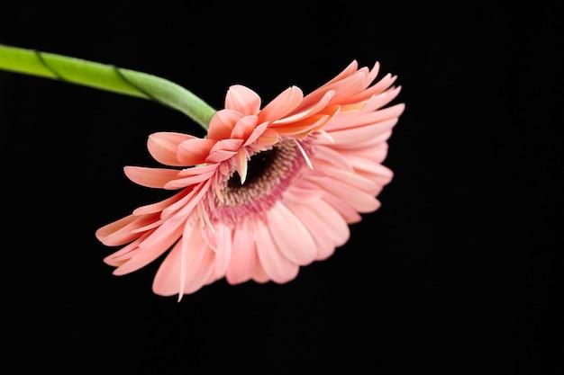 Gerbera-blume mit großen hellrosa blütenblättern