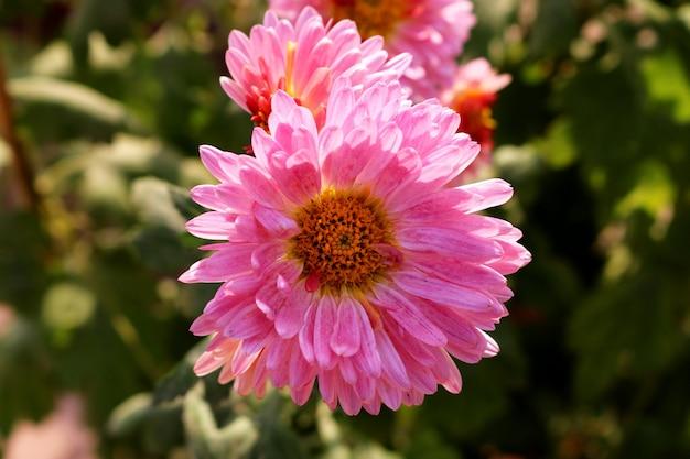 Gerbera-gänseblümchen