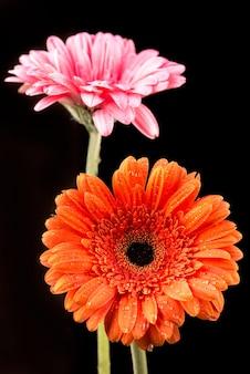 Gerbera orange und rosa lokalisiert auf schwarzem hintergrund