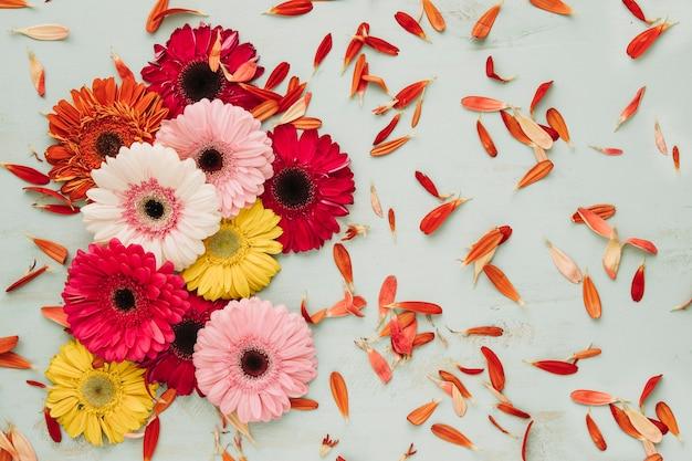 Gerberas köpfe und blütenblätter