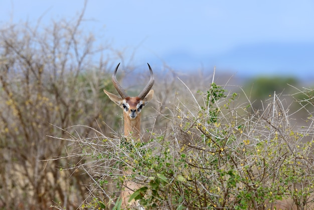 Gerenuk im nationalpark von kenia, afrika