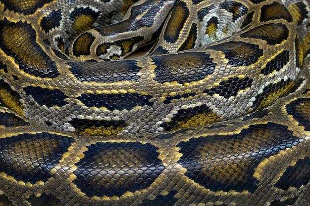 Gerollte pythonhaut
