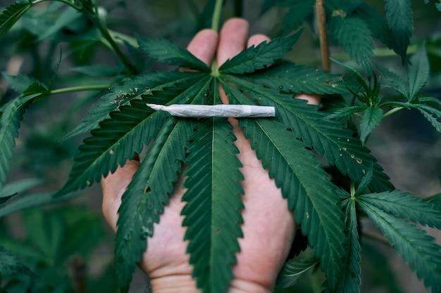 Gerollter marihuana-joint auf einer großen cannabispflanze, die von einer person gehalten wird