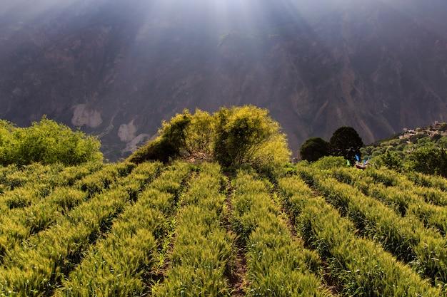 Gerste am sonnenscheintag bei danba village, china