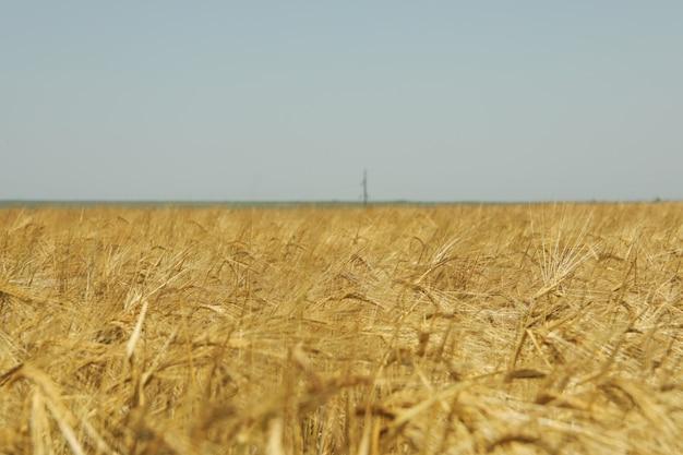 Gerstenfeld. landwirtschaft und landwirtschaft. erste sommerernte