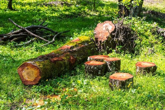 Gesägter stammbaum im wald, brennholz