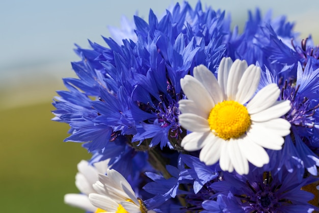 Gesammelter strauß blauer wildblumen kornblume