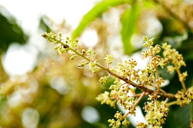 Gesamtlänge eines mangobaums in voller blüte
