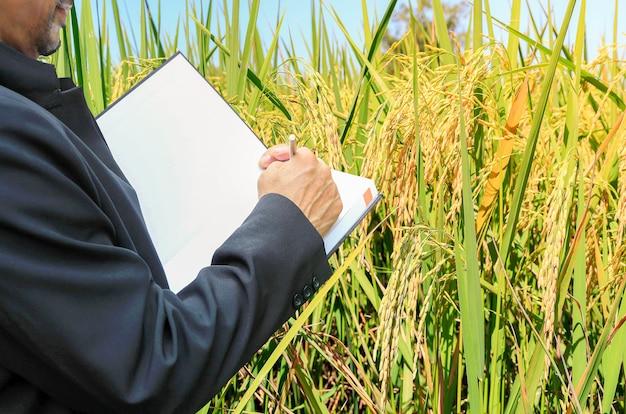 Geschäftsmannleute und reisfelder goldgelb, landwirtschaftliche produkte