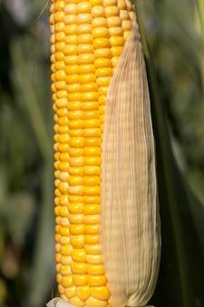 Geschälte maiskolben mit gelbem mais, ende des sommers und reifung der getreideernte