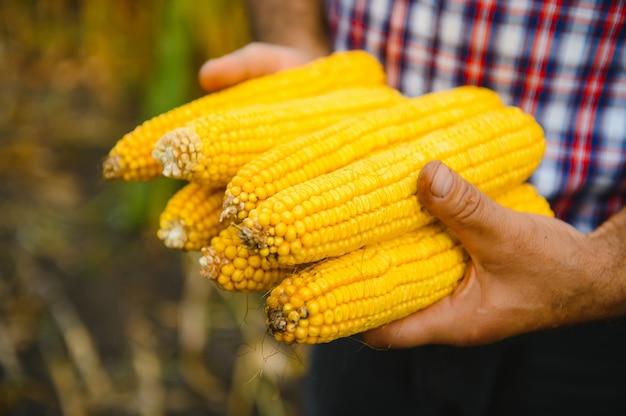 Geschälte zuckermaiskolben in der hand des bauern auf maisfeldhintergrund