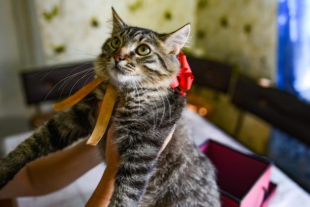 Geschenkkonzept annehmen. süßes schönes kätzchen mit einer roten schleife am hals. weibliche hände halten ein geschenk. weibliche hände halten ein kätzchen.