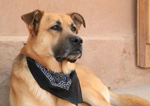 Geschlossen herauf einen großen braunen hund, der den schwarzen schal trägt, der sich friedlich entspannt