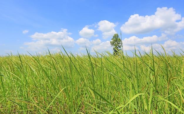 Geschwollene wolke am blauen himmel im jungen grünen reisfeld und -baum. landschaftssommer-szenenhintergrund