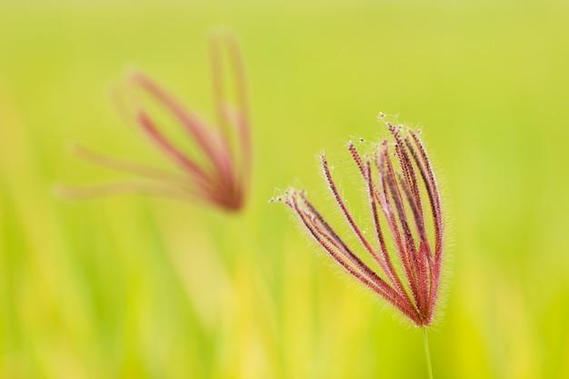 Geschwollenes fingergras der nahaufnahme im grünen naturhintergrund. konzept der natur oder der regenzeit