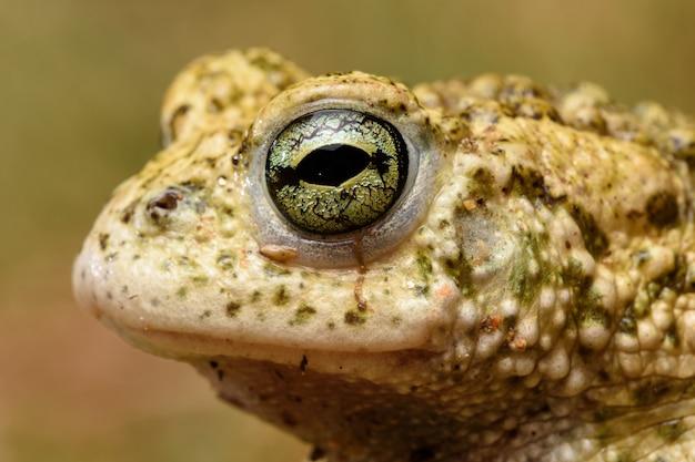 Gesicht männliche kreuzkröte (epidalea calamita)