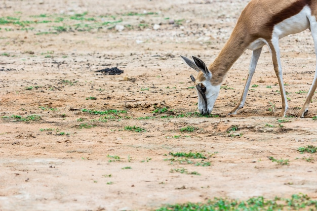 Gesicht und horn von gemsbok antilope (oryx gazella) hirsch, südafrika