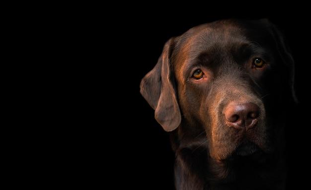 Gesichtsporträt des braunen schokoladenlabrador-retrieverhundes lokalisiert auf schwarzem hintergrund.