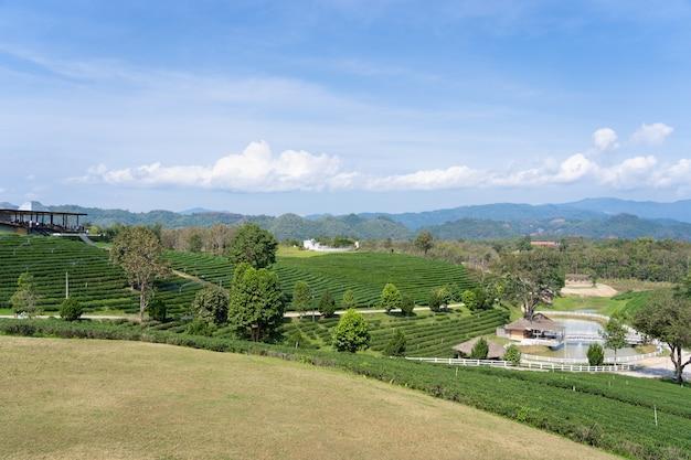Gestalten sie beschaffenheit des feldes des grünen tees in choui-fong-teebauernhof nördlich von thailand mit bluesky landschaftlich