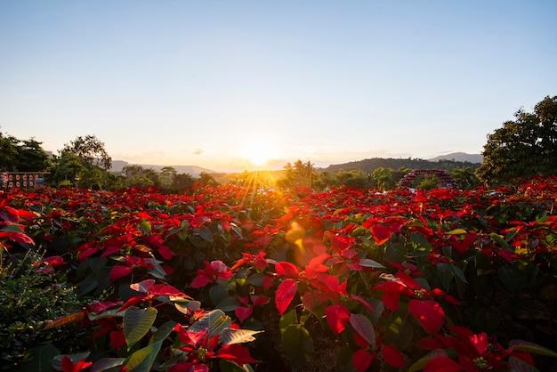 Gestalten sie rote poinsettia im garten mit sonnenuntergang und berg landschaftlich - dekorationen der poinsettia-weihnachtstraditionellen blume draußen frohe weihnachten