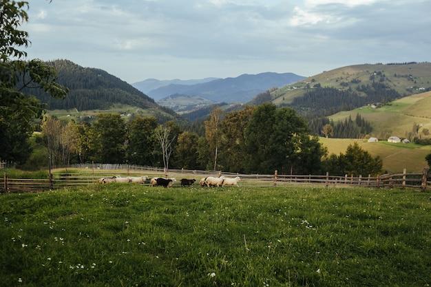 Gestaltete landschaft mit schafen, die in der wiese auf einem hintergrund der berge grasen.