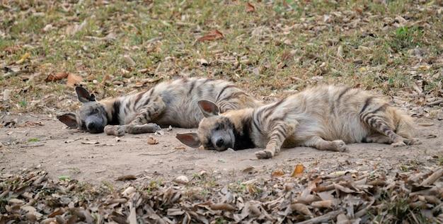 Gestreifte hyäne schlafend