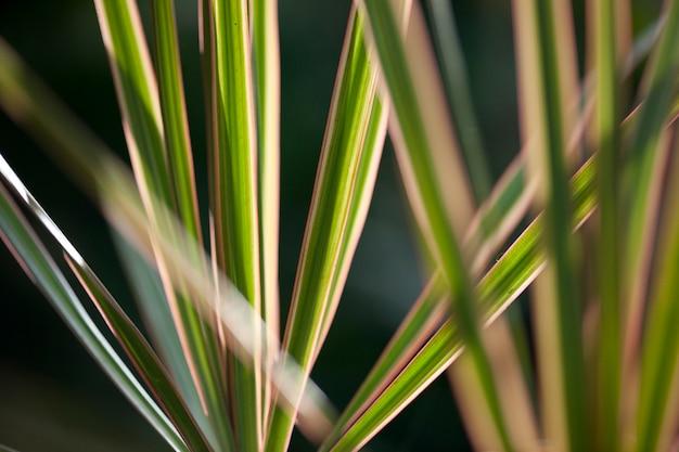 Gestreifte tropische grüne blätter, strahlend in einer fanform