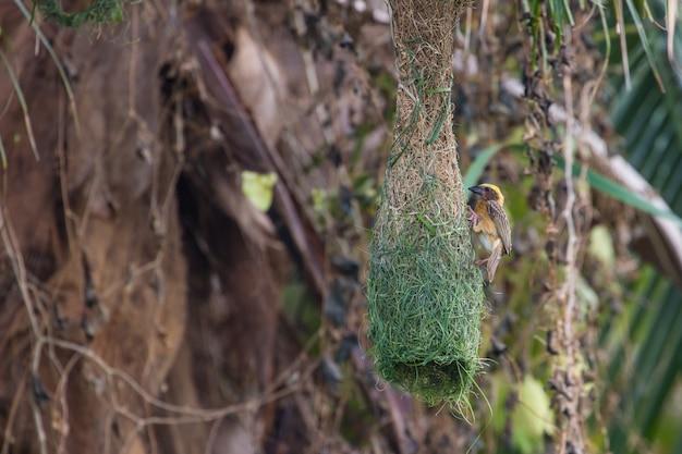 Gestreifter weber (ploceus manyar) ruht auf einer niederlassung im wald