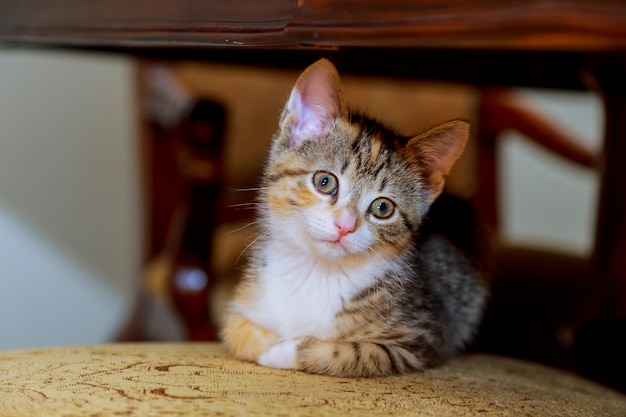 Gestreifter weißer farbton des kleinen netten kätzchens mit den blauen augen, die auf einem weidenstuhl sitzen