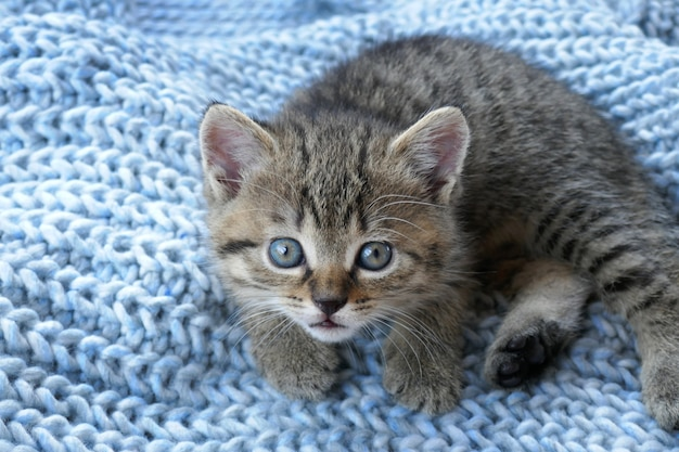 Gestreiftes schottisches kleines kätzchen auf blauer wolle
