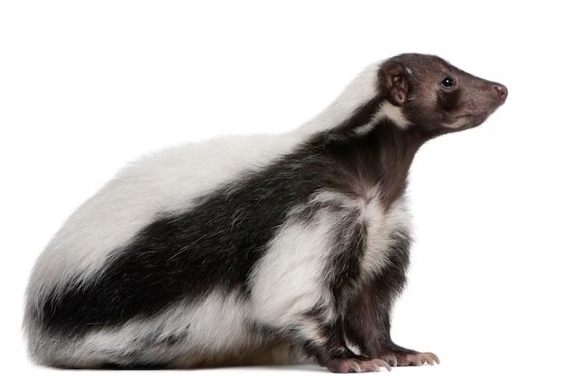Gestreiftes stinktier, mephitis mephitis, die auf weiß isoliert steht