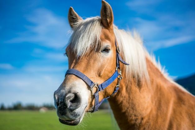 Gesundes pferdeportrait