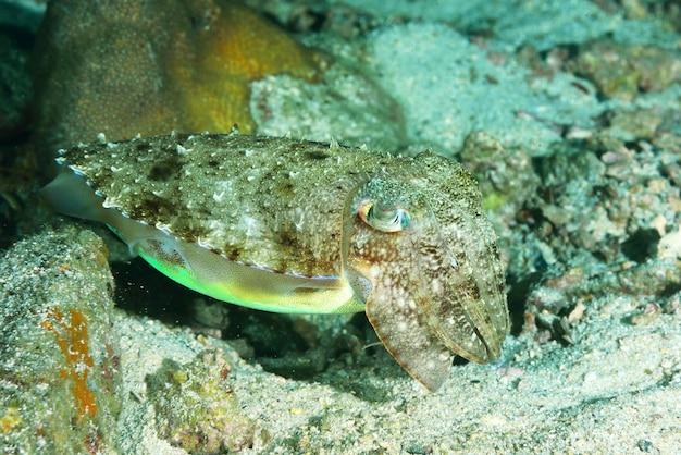 Getarnter tintenfisch, dessen farbe sich dem sandboden anpasst.
