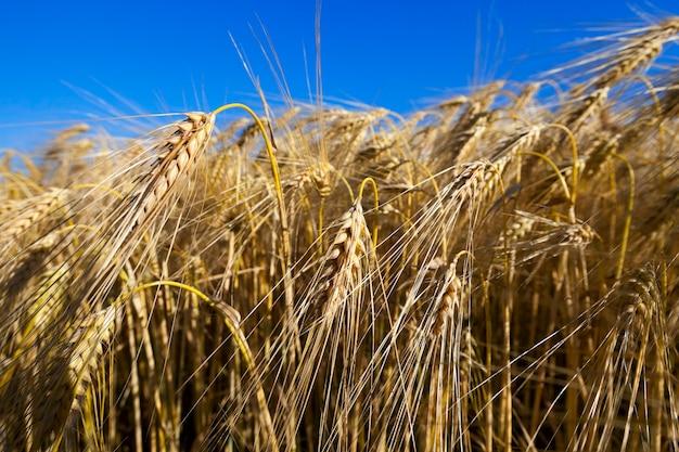 Getreide auf dem bauernhof - landwirtschaftliches feld, auf dem getreide, weizen, weißrussland, reifes und vergilbtes getreide angebaut werden.