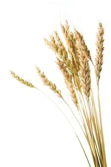 Getreideähren isoliert auf weißem hintergrund