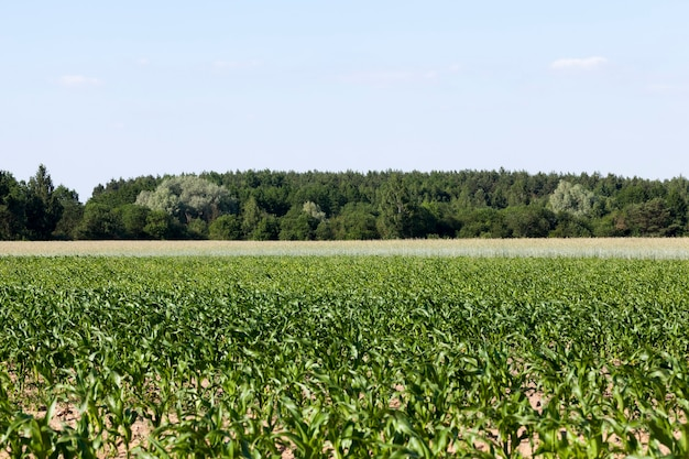 Getreideanbau zur ernährung der bevölkerung, ein landwirtschaftliches feld, auf dem getreide angebaut wird