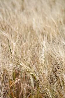 Getreidefeld in der ländlichen landschaft.