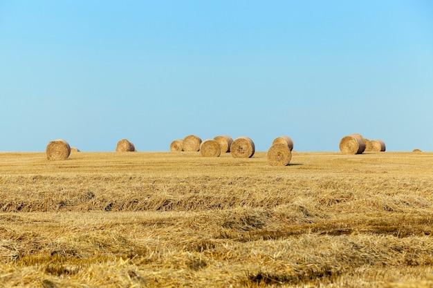 Getreidefeld - landwirtschaftliches feld, auf dem getreide, weizen geerntet wird.